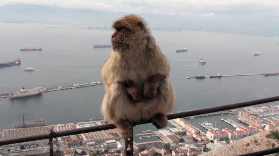 Monkey Gibraltar