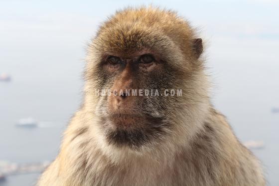 Berbera monkey