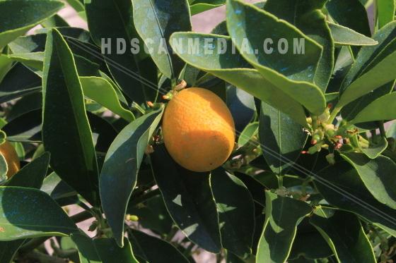 Citron på gren