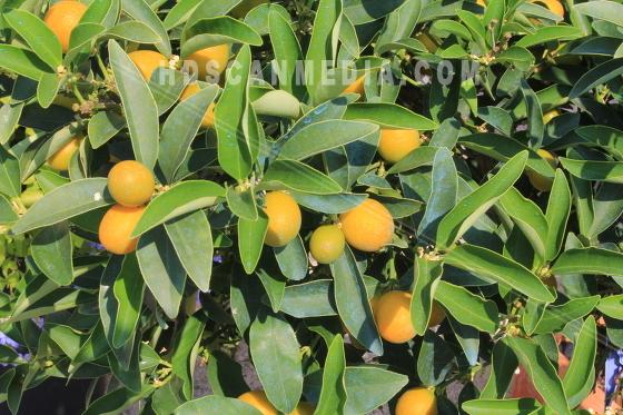 Flera Citron på grenar