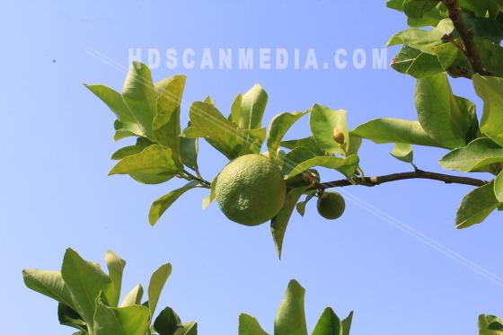 Limefrukt på grön gren