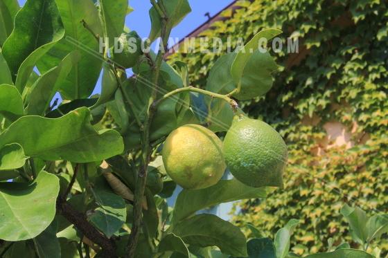 Två Limefrukter på gren