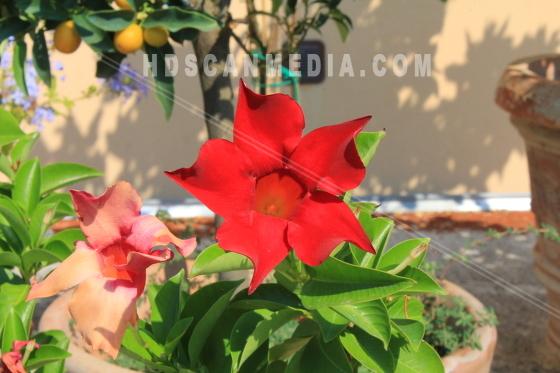 Röd blomma i kruka