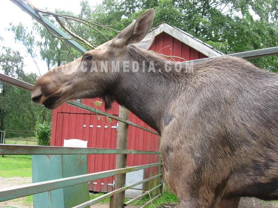Älg - Elk - Moose