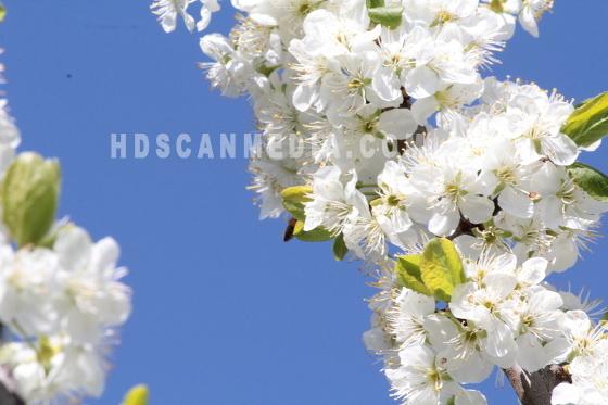 Plommonträd blomstrande