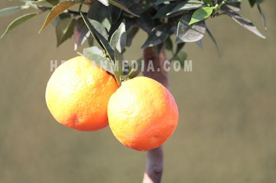 Citrus Myrtifolia Chinotto