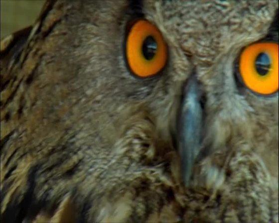 Uggla - Owl
