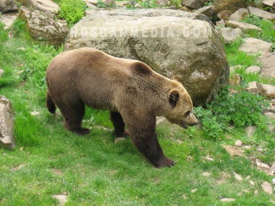 Brunbjörn i Sverige