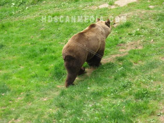 Brunbjörn i skog