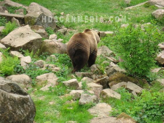 Brunbjörn bland sten