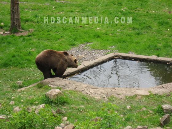 Brunbjörn vid vatten