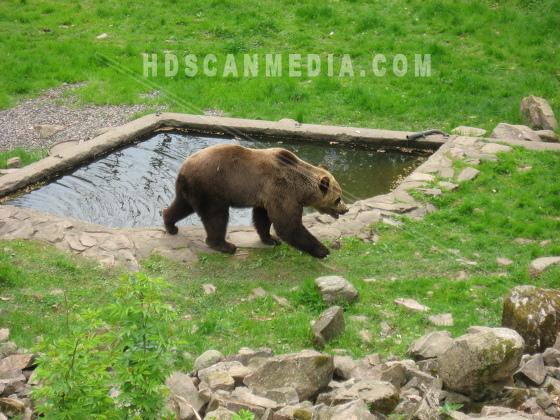 Brunbjörn gående