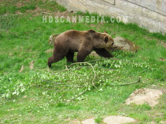 Brunbjörn i park