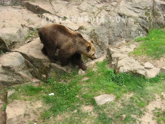 Brunbjörn på klippa