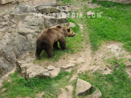 Brunbjörn på gräs