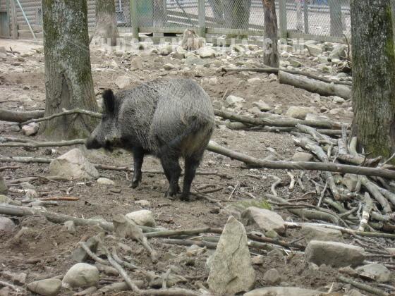 Vildsvin i park
