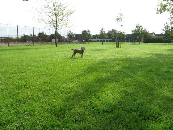 Weimaraner hundvalp i park