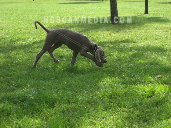 Weimaraner valp i park
