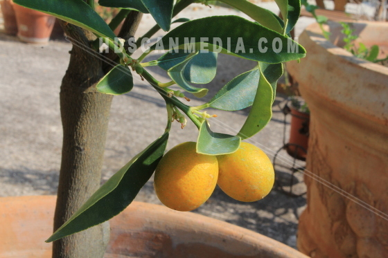 Citroner på gren