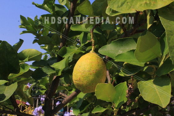 Limefrukt i träd