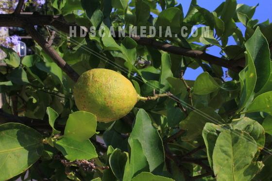 Limefrukt i trädgren