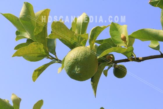 Limefrukter på grön gren
