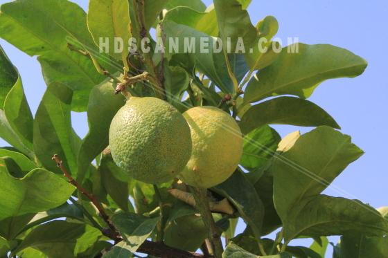 Limefrukter på trädgran