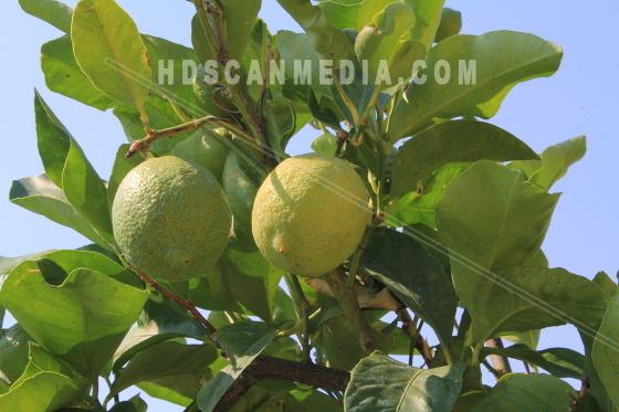 Limefrukter på träd