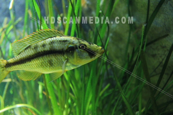 Akvarie fisk