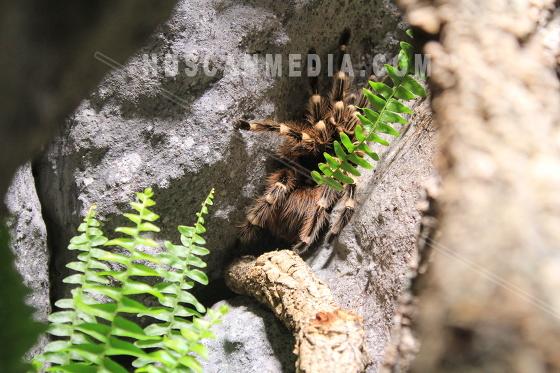 Tarantula Spindel