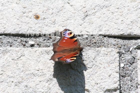 Fjäril Påfågelöga