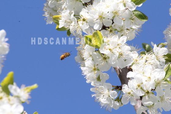 Plommonträd och bi