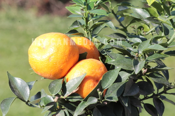 Citrus Myrtifolia Chinotto