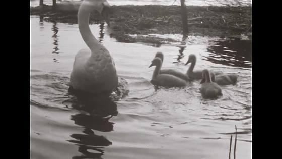 Svanar matas år 1934 #1