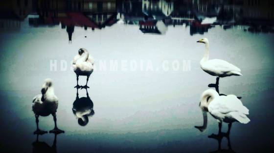 Swans on thin ice